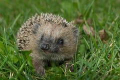 Hedgehog in the garden Stock Image