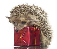 Hedgehog on gift box Royalty Free Stock Images
