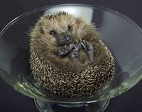 Hedgehog in a glass bowl Stock Photos