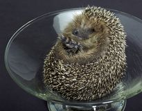 Hedgehog in a glass bowl Royalty Free Stock Photos