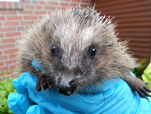 Hedgehog in gloved hands Royalty Free Stock Photo
