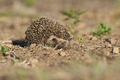 Hedgehog in golden light looking at camera Royalty Free Stock Photos