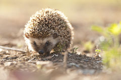 Hedgehog in golden light South Africa Royalty Free Stock Image