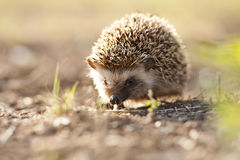 Hedgehog in golden morning light Stock Images