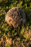 Hedgehog. In golden sunlight Stock Image