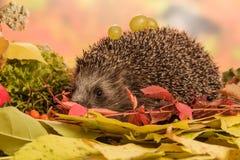 Hedgehog with grapes closeup Stock Images