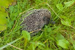 Hedgehog in the grass Stock Photos