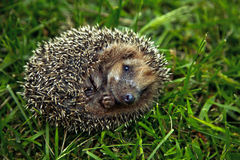 Hedgehog on grass. Close up of hedgehog on grass royalty free stock photos