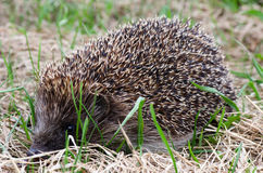 Hedgehog in a grass Royalty Free Stock Photo