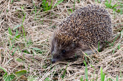 Hedgehog in a grass Royalty Free Stock Photography