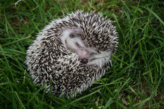 Hedgehog on a grass Stock Image