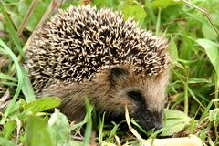 Hedgehog in grass. In the summer field Royalty Free Stock Image