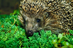 Hedgehog in the grass Stock Images