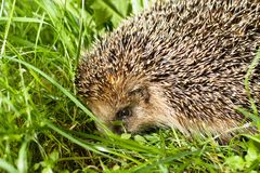 Hedgehog in grass Royalty Free Stock Photos