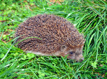 Hedgehog in the grass close-up Stock Images