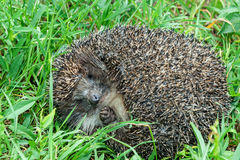 Hedgehog on the grass. Stock Images