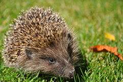 Hedgehog in the grass Stock Image