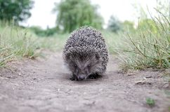 Hedgehog on the grass. Good hedgehog on the grass at nature Stock Images