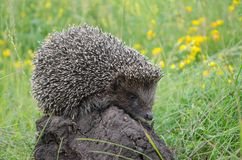 Hedgehog on the grass. Good hedgehog on the grass at nature Stock Photography