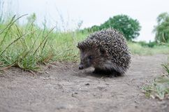 Hedgehog on the grass. Good hedgehog on the grass at nature Stock Photos