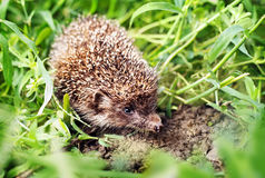 Hedgehog in the grass Royalty Free Stock Photography