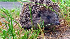 Hedgehog in the grass stock video footage
