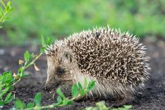 Hedgehog on the grass Royalty Free Stock Image