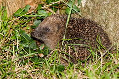 Hedgehog in Grass and Ivy Profile View Stock Photography