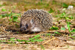 Hedgehog in grass. And looking at the camera 2 Stock Photos