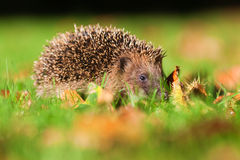 Hedgehog in the grass looks at the camera Royalty Free Stock Images