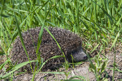 Hedgehog in the grass Royalty Free Stock Image