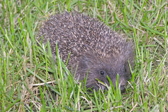 Hedgehog on the grass Royalty Free Stock Images