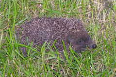 Hedgehog on the grass Royalty Free Stock Photos