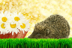 Hedgehog on the grass Stock Photo