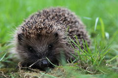Hedgehog on grass. Hedgehog sitting on grass Portrait Stock Photo