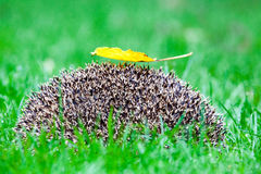 Hedgehog in the grass. There are some 15 species of hedgehog in Europe, Asia, and Africa. Hedgehogs have also been introduced into nontraditional ranges such as Royalty Free Stock Images