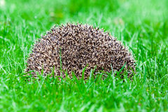 Hedgehog in the grass. There are some 15 species of hedgehog in Europe, Asia, and Africa. Hedgehogs have also been introduced into nontraditional ranges such as stock image