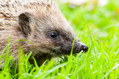 Hedgehog in the grass Stock Photography