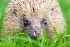 Hedgehog in the grass. There are some 15 species of hedgehog in Europe, Asia, and Africa. Hedgehogs have also been introduced into nontraditional ranges such as Stock Photography