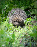 Hedgehog in the grass Royalty Free Stock Photo