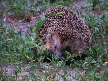 Hedgehog in the grass. A young hedgehog crawls along the path in the garden Royalty Free Stock Photos
