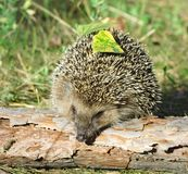 Hedgehog on the green background Royalty Free Stock Images