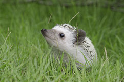 Hedgehog on green grass Royalty Free Stock Photography