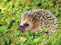 Hedgehog on green grass Royalty Free Stock Photo
