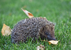 Hedgehog on the green grass Royalty Free Stock Photos