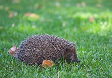 Hedgehog on the green grass Stock Photo