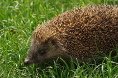 Hedgehog. In the green grass Stock Photos