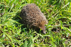 Hedgehog on green grass Royalty Free Stock Photo