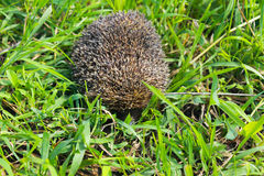Hedgehog on green grass Royalty Free Stock Images