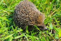 Hedgehog on green grass Stock Photos